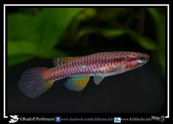 "7 Aphyosemion (Chromaphyosemion) loennbergii ""Lykouk"" (Kamerun)"