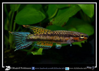 """3 Aphyosemion (Chromaphyosemion) melinoeides """"Fenda ADK 09/291"""" (Kamerun)"""
