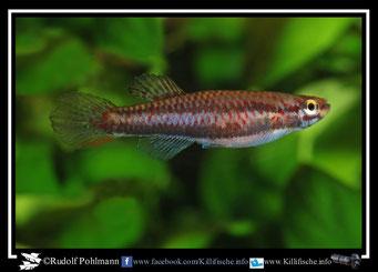 """2 Aphyosemion (Chromaphyosemion) bivittatum """"Ikang NA 04/3"""" female  (Gruppe1) Nigeria"""