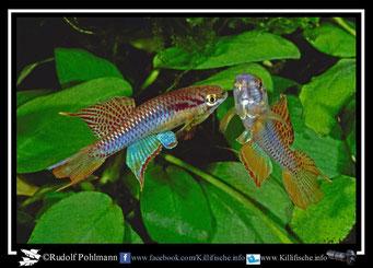 "9 Aphyosemion (Chromaphyosemion) bitaeniatum "" Yemoji - River"" Nigeria"