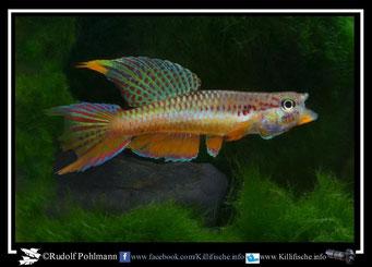 15. Aphyosemion (Chromaphyosemion) omega ABC 06/98 (Kamerun)