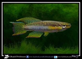 "13. Aphyosemion (Chromaphyosemion) melanogaster ""Lobe  JVC 13"" (Kamerun)"