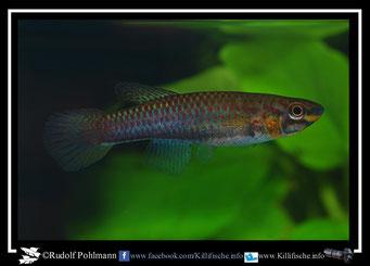 "3. Aphyosemion (Chromaphyosemion) volcanum  ""Ebonji KV 03/31"" female (Kamerun)"