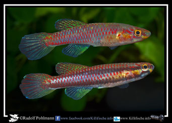 "2. Aphyosemion (Chromaphyosemion) koungueense ""Ayatto C 03/33""  female (Kamerun)"