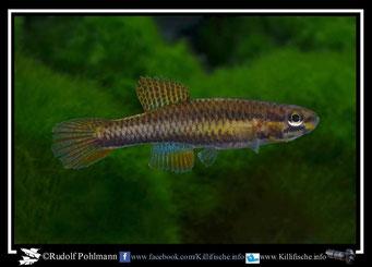 1 Aphyosemion (Chromaphyosemion) pamaense Bella ABK 07/163 female  (Kamerun)
