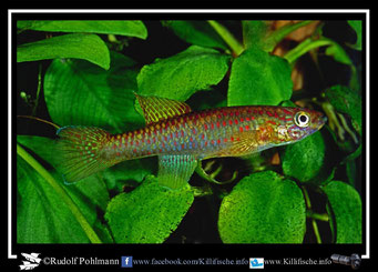 6. Aphyosemion (Chromaphyosemion) riggenbachi Nkwo 97/1 female (Kamerun)