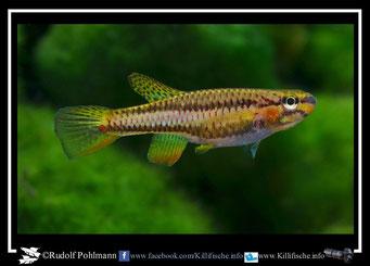14. Aphyosemion (Chromaphyosemion) omega ADK 09/300 female  (Kamerun)