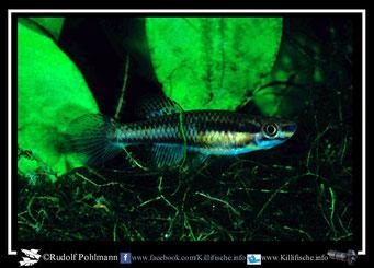 """2 Aphyosemion (Chromaphyosemion) bitaeniatum """"Agbetiko RT 97/3"""" Togo -(female)"""