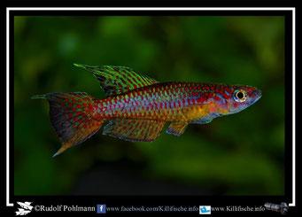 """15. Aphyosemion (Chromaphyosemion) punctulatum """"Bitande SE 99/16"""" (Kamerun)"""