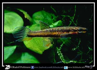 """6 Aphyosemion (Chromaphyosemion) lugens """"Afan Essokie HLM 99/28"""" female (Kamerun)"""