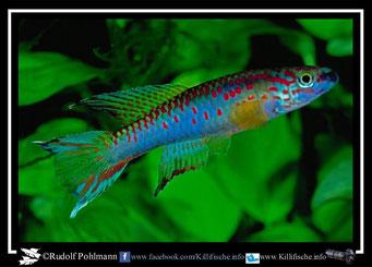 6. Aphyosemion (Chromaphyosemion) riggenbachi C 94/1 (Kamerun)