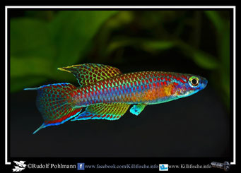 "13 Aphyosemion (Chromaphyosemion) ""Ecurya GEMHS 00/41"" (Äquatorialguinea)"