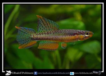 "10. Aphyosemion (Chromaphyosemion) splendopleure ""Afan Essokie II ADK 11/452"" (Kamerun)"