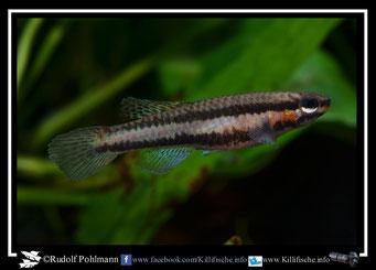 "6.  Aphyosemion (Chromaphyosemion) splendopleure ""100 m N riv. Boutchilika ADK 11/453"" female (Kamerun)"