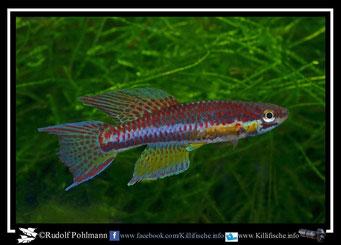 6 Aphyosemion (Chromaphyosemion) malumbresi Ndyiacom GEMLCG 07/53 / Terra typica (Äquatorialguinea)