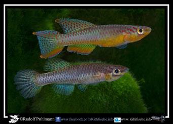 "7.  Aphyosemion (Chromaphyosemion) splendopleure ""Likado CSK 95 / 23"" (Kamerun)"