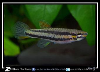 6 Aphyosemion (Chromaphyosemion) malumbresi Ndyiacom GEMLCG 07/53 female / Terra typica (Äquatorialguinea)