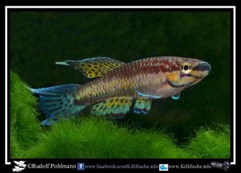 """2 Aphyosemion (Chromaphyosemion) melinoeides """"Fenda KEK 98/10"""" (Kamerun)"""