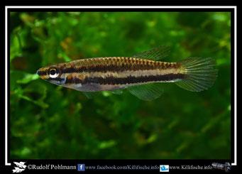"""13. Aphyosemion (Chromaphyosemion) volcanum  female """"Owe""""  (Kamerun)"""