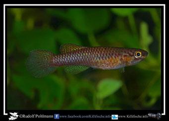 """6. Aphyosemion (Chromaphyosemion) volcanum """"Kaké II ABC 06/111"""" female (Kamerun)"""