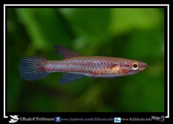 "4 Aphyosemion (Chromaphyosemion) bitaeniatum ""Porto Novo"" Benin -(female)"