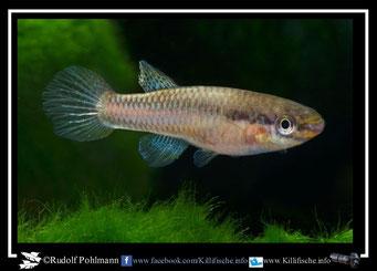 """4. Aphyosemion (Chromaphyosemion) volcanum  """"Mambanda CMM 50 """"  female (Kamerun)"""