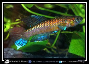"""11. Aphyosemion (Chromaphyosemion) poliaki """"Mutengene  C 03 /45"""" (Kamerun)"""