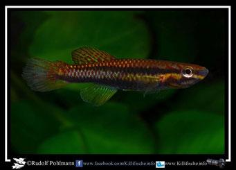 15. Aphyosemion (Chromaphyosemion) omega ABC 06/98 female (Kamerun)