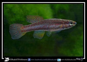 """10 Aphyosemion (Chromaphyosemion) loennbergii """"Bonguen ADK 11/466"""" + ABC 05/62 female (Kamerun)"""