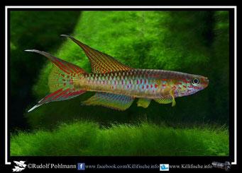 5. Aphyosemion (Chromaphyosemion) riggenbachi Ndokndak ADL 13/49 (Kamerun)