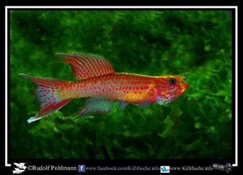 9. Aphyosemion (Chromaphyosemion) riggenbachi Nkouli - Ngnock ABC 05/19 (Kamerun)