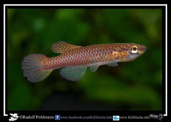 """2. Aphyosemion (Chromaphyosemion)  poliaki """"Ekona C 03/43""""  female (Kamerun"""