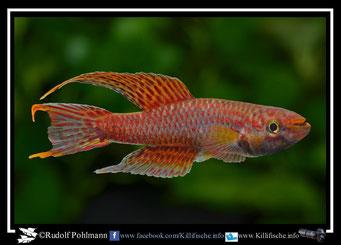 4  Aphyosemion (Chromaphyosemion) malumbresi Nlosoc GEMHS 00/31 (Äquatorialguinea)