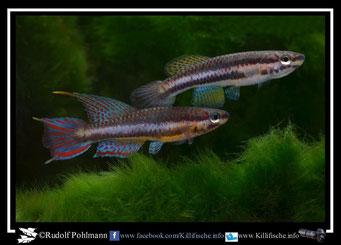 """11 Aphyosemion (Chromaphyosemion) loennbergii """"Cetic de Mapam ABDEK 12/507"""" (Kamerun)"""