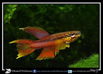 "1. Aphyosemion (Chromaphyosemion) splendopleure ""Tiko red""  (Kamerun)"