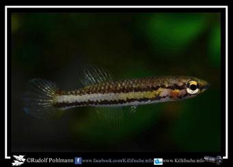 """22. Aphyosemion (Chromaphyosemion) volcanum (poliaki Mile 29) """"Mile 29 C 03/42"""" female  (Kamerun)"""