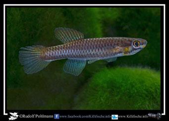 "2 Aphyosemion (Chromaphyosemion)  splendopleure ""Bimbia""  female  (Kamerun)"
