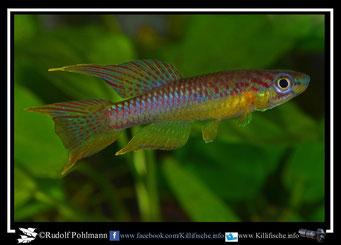"1. Aphyosemion (Chromaphyosemion) splendopleure ""Tiko Impass College ABL 06/119""  (Kamerun)"
