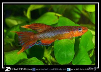 """1 Aphyosemion (Chromaphyosemion) loennbergii """"Makak-Ndokoma """"BLLMC 05/35"""" (Kamerun)"""