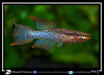 """4 Aphyosemion (Chromaphyosemion) bivittatum """"Iwai"""" (Togo) KV 03/32""""  (Gruppe3) Kamerun"""