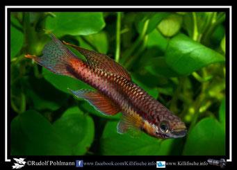 2  Aphyosemion (Chromaphyosemion) malumbresi GEMLCG 07/50 (Äquatorialguinea)