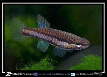 "7. Aphyosemion (Chromaphyosemion) koungueense sp. aff. ""Route de Dehane ADK 09/296"" female (Kamerun)"