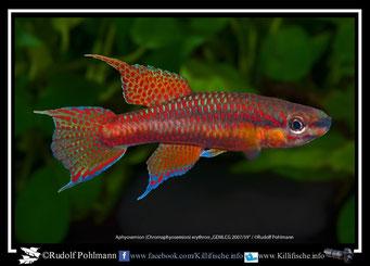 "19 Aphyosemion (Chromaphyosemion) ""Asuiabe GEMLCG 07/59"" (Äquatorialguinea)"
