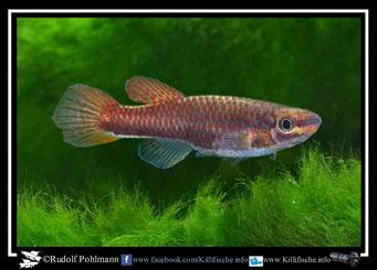 """19 Aphyosemion (Chromaphyosemion) """"Asuiabe GEMLCG 07/59"""" female (Äquatorialguinea)"""