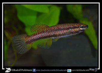 "3 Aphyosemion (Chromaphyosemion) loennbergii ""20km Edea-Yaonde JVC 05"" female (Kamerun)"