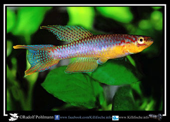 "8.  Aphyosemion (Chromaphyosemion) splendopleure ""Ebodje ABC 05/46 (Kamerun)"
