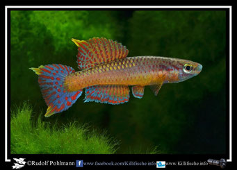 "12 Aphyosemion (Chromaphyosemion) loennbergii ""Esèka AP 13/520"" (Kamerun)"