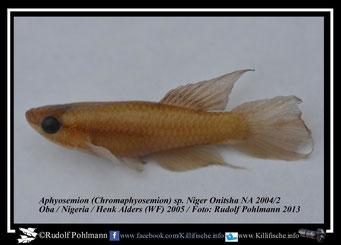 "Aphyosemion (Chromaphyosemion) spec. Niger ""Oba Onitsha NA 04/2"" (Nigeria) Formalin 5% 5 Jahre"