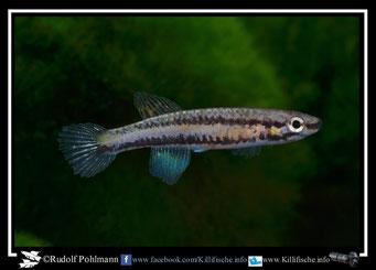 "6 Aphyosemion (Chromaphyosemion) lugens ""Afan Essokie KEK 98/5"" female (Kamerun)"