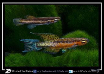 "5 melinoeides Akok ADGP 11/11 und melanogaster ""Akok ADGP 11/11"" (Kamerun)"